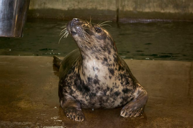 Rona, a gray seal at the Louisville Zoo, is pregnant.