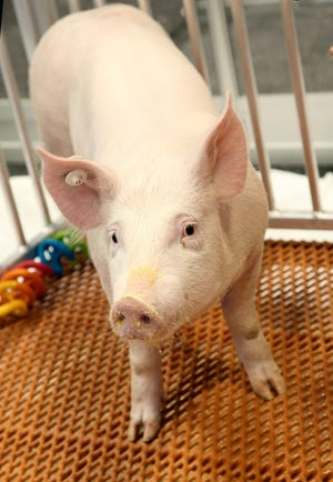 This undated photo provided by Revivicor, Inc., a unit of United Therapeutics, shows a genetically modified pig. U.S. regulators have approved a genetically modified pig for food and medical products, making it the second such animal to get the green light for human consumption -- but United Therapeutics, the company behind it says there are no imminent plans for its meat to be sold. (Revivicor, Inc. via AP)