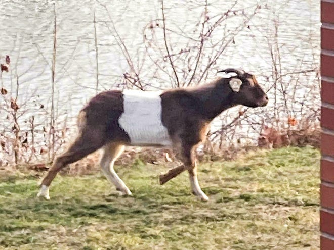 Michael Hughes wakes up to find a goat in his backyard on Muskingum Avenue.