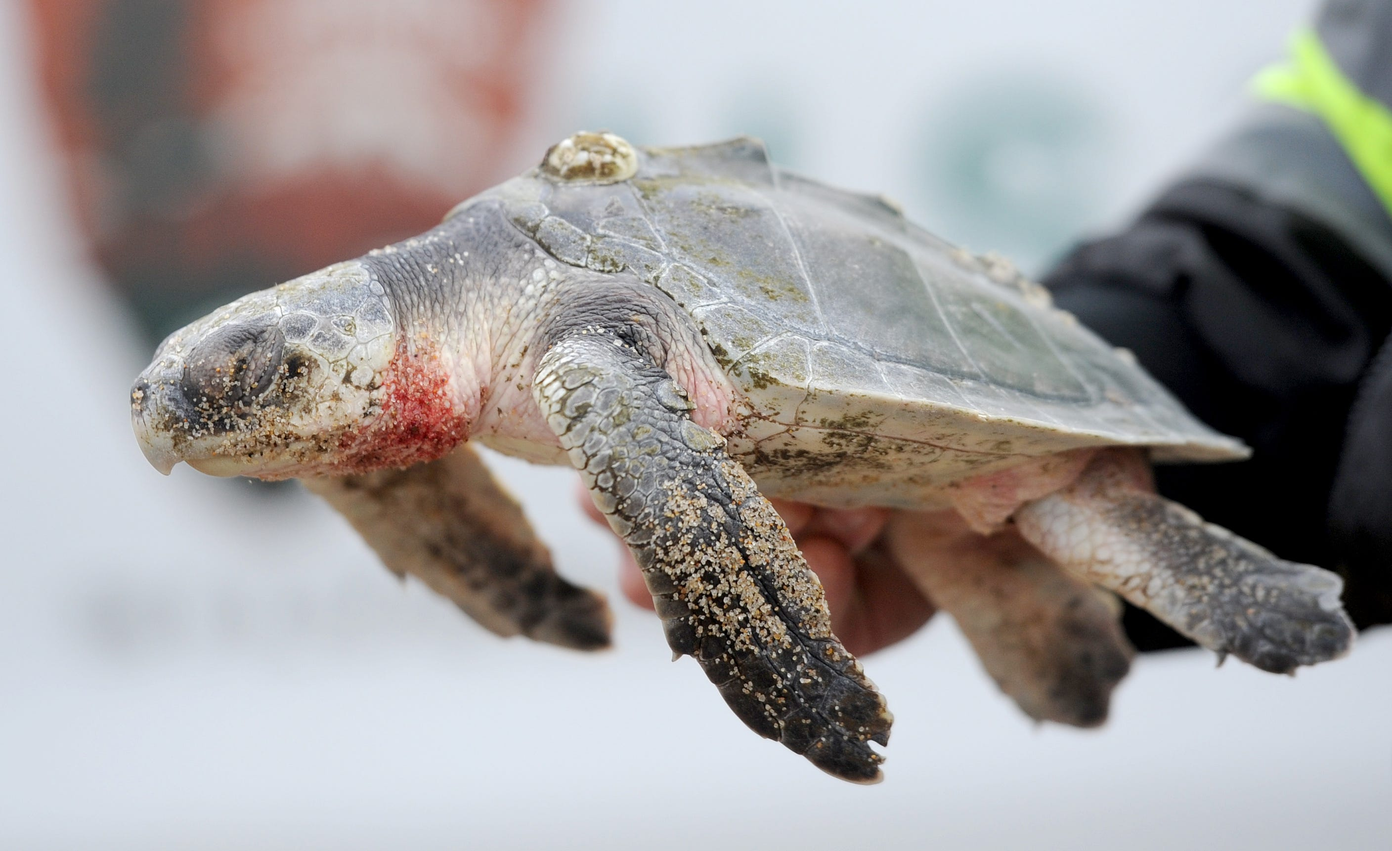 At least 900 hypothermic endangered sea turtles rescued off Cape Cod beaches in 2020