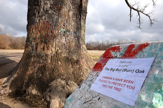 "The 350 to 400-year-old Burr Oak tree near McBaine has been vandalized yet again. It was recently sprayed twice within a week with orange paint reading ""Trump,"" and volunteers have used dirt and clay to cover the graffiti. A sign informs visitors that cameras have been installed."