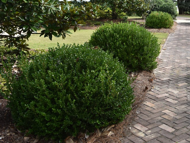 Boxwood can add texture and shape to the landscape, but some varieties grow better in the Augusta climate than others.