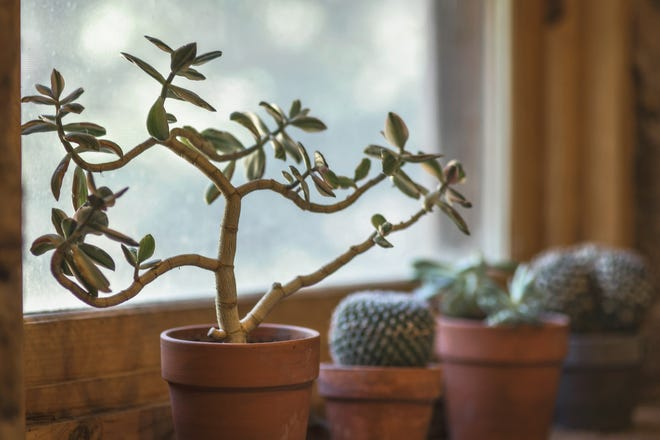 Houseplants need light and the right amount of water to be successful.