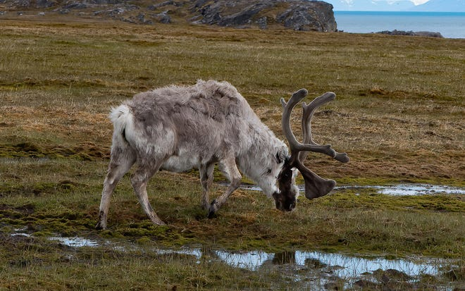 Reindeer are the only members of the deer family in which both males and females have antlers. [Photo by Trip Lamb]