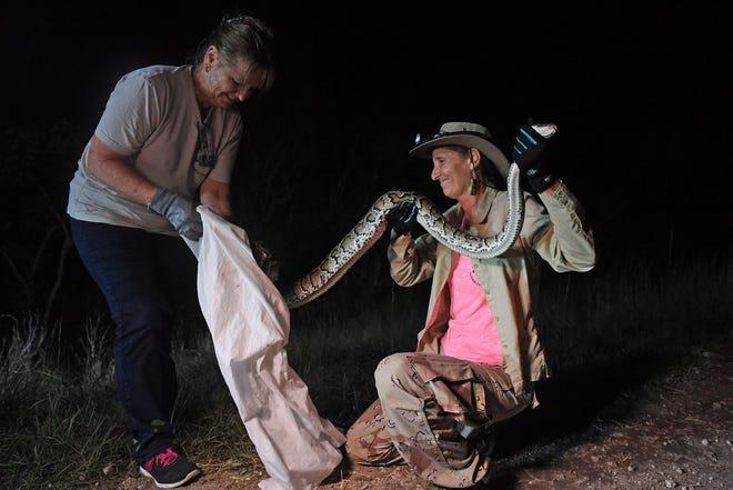 Donna Kalil (kanan) dan Renee Yousefi mengantongi seekor ular piton Burma setinggi 8 kaki di sepanjang tanggul C-304 di Miami-Dade County pada Juli 2018.