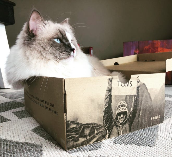 Jeff the ragdoll, from a vantage point of various boxes, spends his time overseeing work done by humans at the Lederhaus home in Hobart, says Tansy Lederhaus.