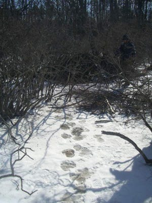 Bear tracks can be seen leading off the beaten path. Would you be able to identify animal tracks if you saw them on a winter hike?