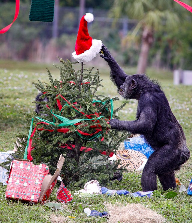 PHOTOS: Chimps go wild for Christmas celebration at Lion Country Safari