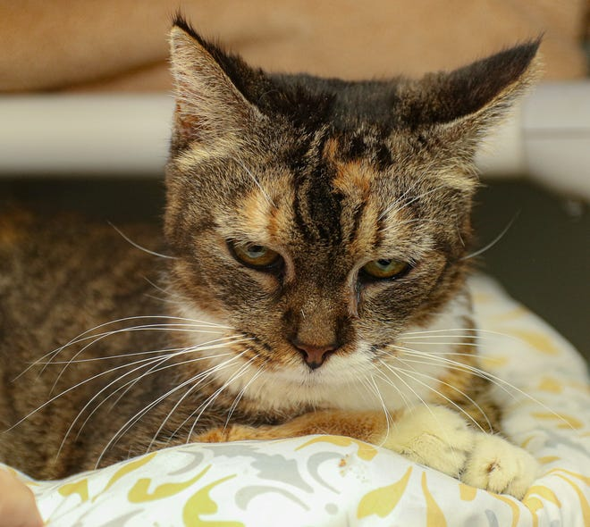 A $10,000 face: Grace's status as a 'purrfectly impurrfect cat' has earned a big cash prize for Colonial Capital Humane Society from Arm & Hammer. [Bill Hand / Sun Journal Staff]