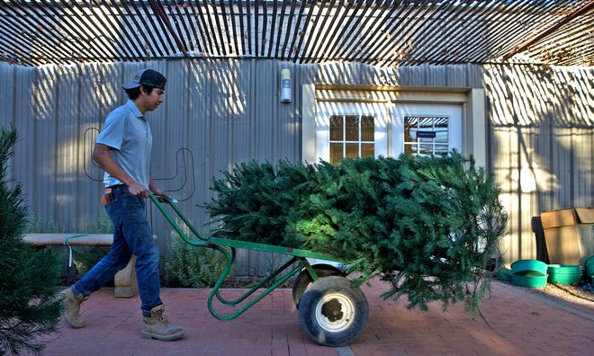 Marcial Plasencia, nursery manager at Scherz Landscape Co. in San Angelo, moves a Christmas tree to prepare it for display Wednesday, Dec. 16, 2020.