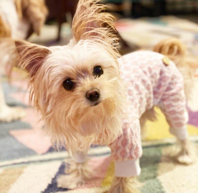Poppy the Yorkie walking around in her new pajamas during winter 2020.