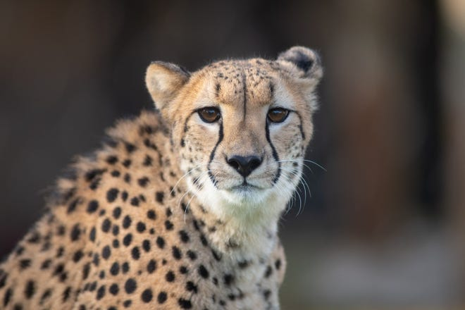 Ophelia, a 4-year-old cheetah the Columbus Zoo and Aquarium euthanized Wednesday due to an injury to her Achilles tendon.