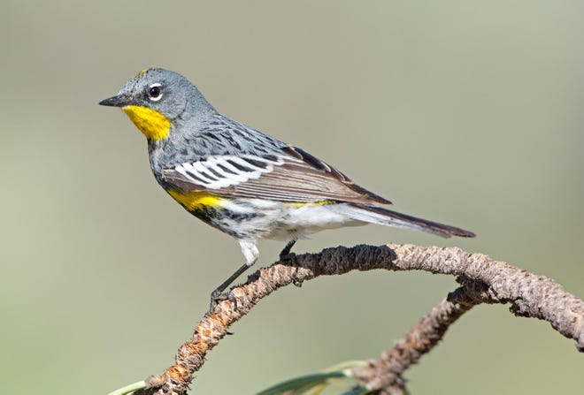 "According to the Cornell Lab of Ornithology, ""The yellow-rumped warbler has two distinct subspecies that used to be considered separate species: the Myrtle warbler of the eastern U.S. and Canada's boreal forest, and Audubon's warbler (pictured) of the mountainous West."""