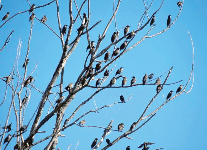 You can see a flock of birds any time of ear, but for some species, the urge to congregate is strongest in winter.