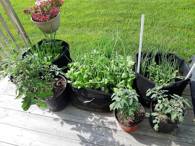 Tomatoes, onions, radishes and herbs growing on Maureen Ryan's deck in Ocean View.