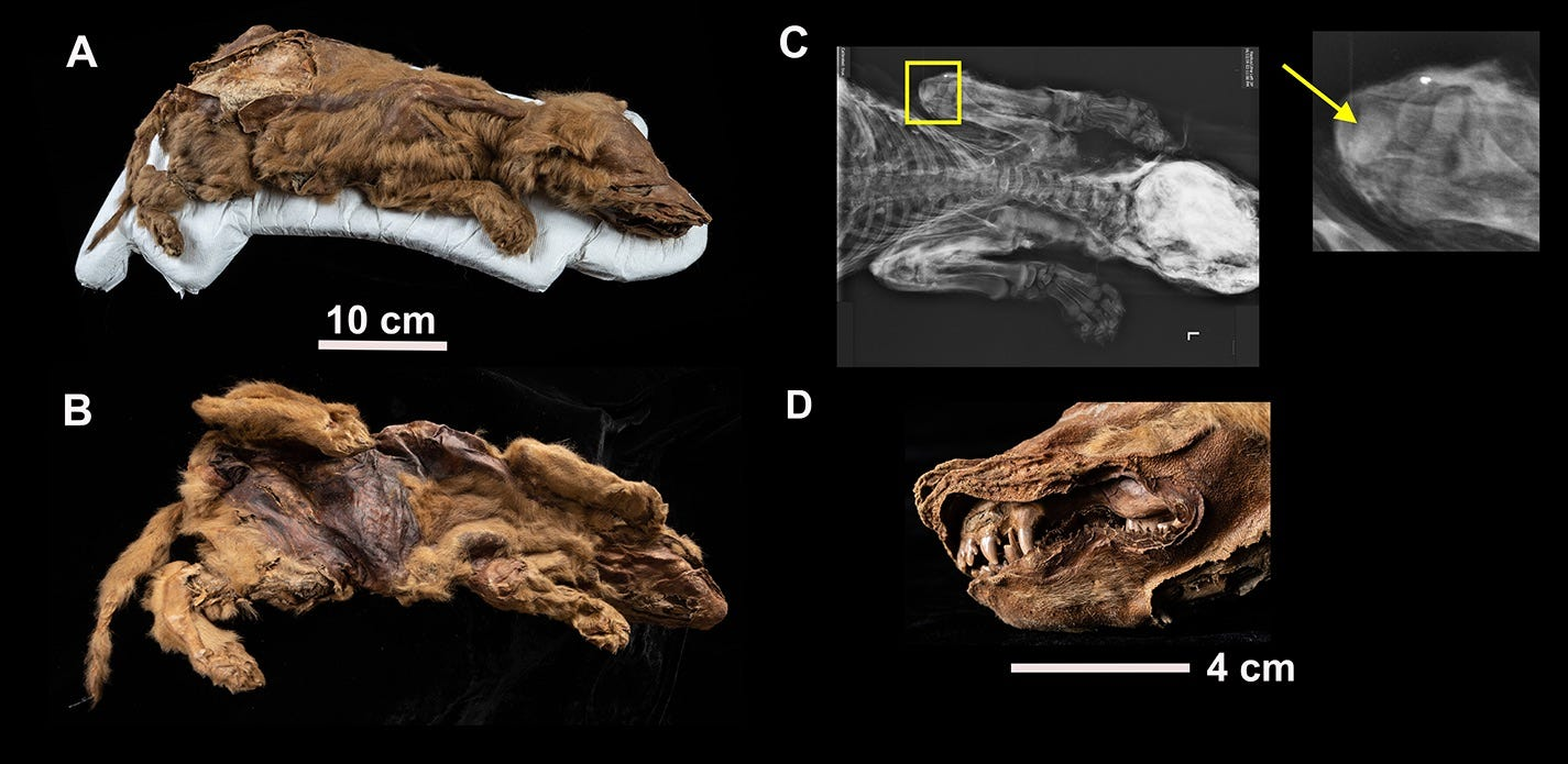 Research of 57,000-year-old wolf mummy: Ancient pup's ancestors, death