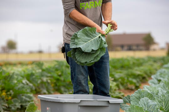 Farm manager, Jim Dauster, 32, secures a bundle of collard greens during a harvest as Simple Promise Farms in Elgin, Texas on Friday, Nov. 13, 2020.