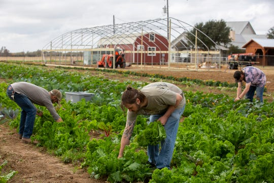 Resident Drew Mayberry, 34, center, harvests kale with farm manager Jim Dauster, right, and Devin Goodman, 22, while at Simple Promise Farms in Elgin, Texas on Friday, Nov. 13, 2020.