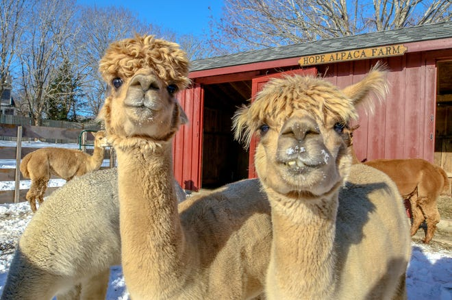 A couple of alpacas at Hope Alpaca Farm in Little Compton. Theirsoft humsignals they arecontent and curious.