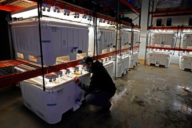 Peter Crimp, direktur pemasok rumput laut untuk Peternakan Laut Atlantik, memeriksa tangki spora rumput laut yang tumbuh di pembibitan perusahaan, Selasa, 8 Desember 2020, di Saco, Maine.