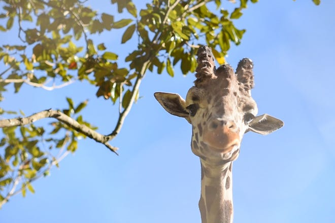 AJ, 12, is the Jacksonville Zoo and Gardens' newest giraffe. He is a breeding male from the El Paso Zoo.