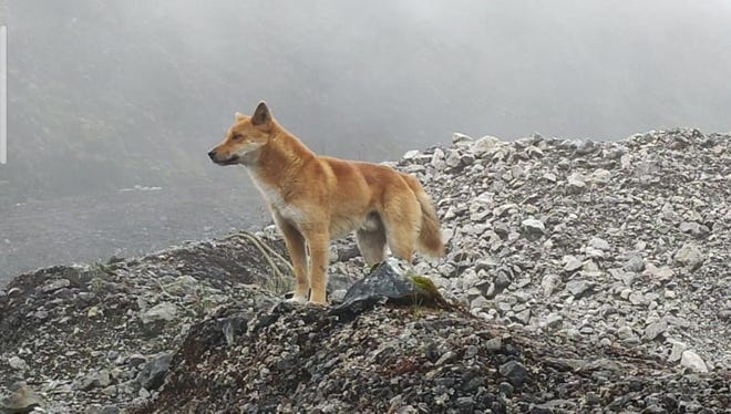 A wild singing dog in the mountains of New Guinea.
