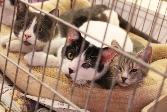 Cats hang out in a cage at the Lenoir County SPCA, located at 2455 Rouse Road Ext., Friday, Dec. 4.