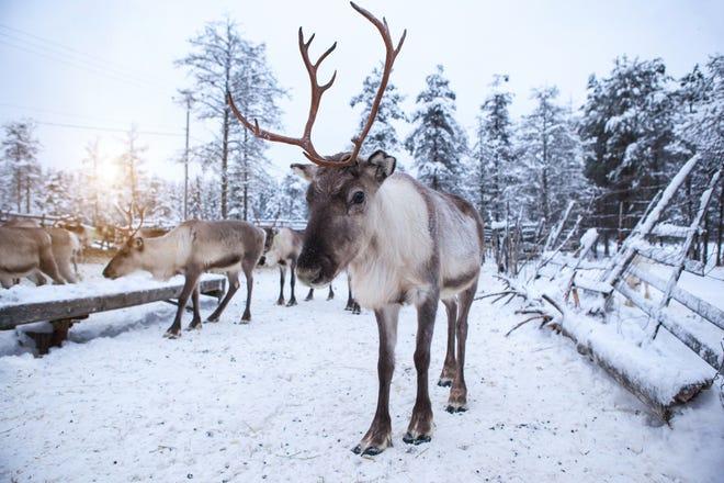 herd of reindeers the tundra
