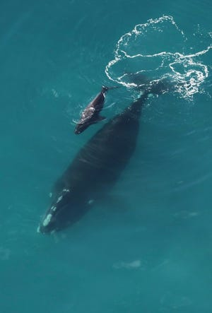 North Atlantic right whale mother and her calf were spotted Monday, Dec. 16, 2019, off Georgia, the first right whale calf seen this season.