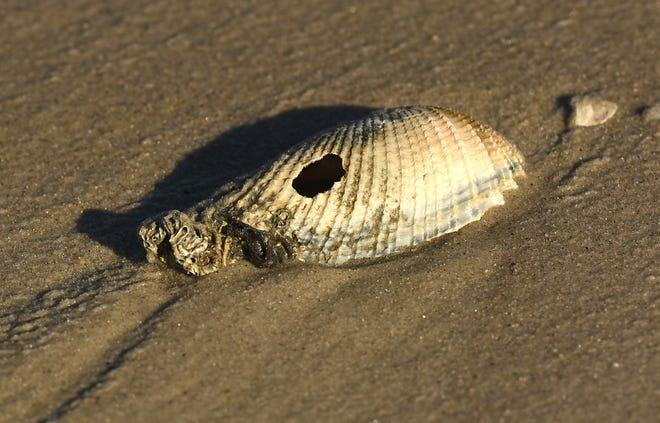 Shells rest along the shoreline in Oak Island, N.C. after Hurricane Matthew.