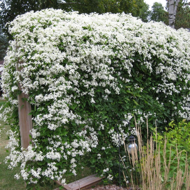 If you like the fragrance of vanilla, you will consider the heavy-blooming sweet autumn clematis a great addition to your garden.