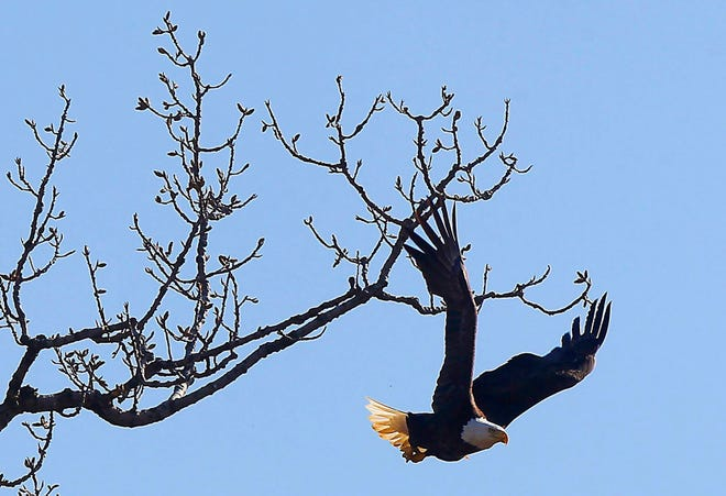 An eagles flies from a tree branch near Dublin Road in Grandview Heights on April 3. Eagles named Annie and Apollo were nesting in a tree by the river there, but other eagles were in the area, too.  People were saddened early this year when Annie's mate, John, named for John and Annie Glenn, died.