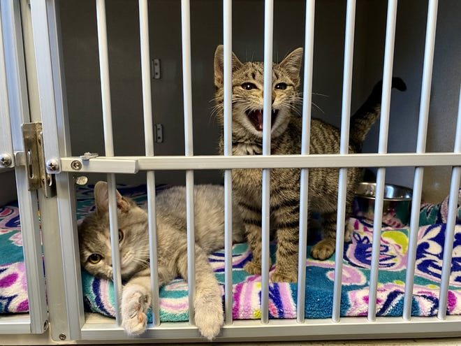 Bubbles and Brandi hang out in their kennels at Kiya Koda Humane Society in Indianola, Dec. 21, 2020.