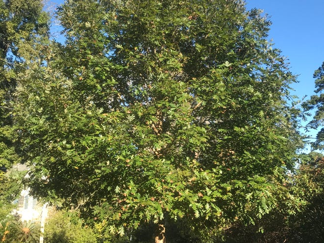 This white oak will grow to be a large shade tree and provide abundant insects for birds to eat.