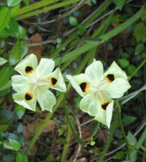 The African iris, Dietes bicolor, blooms yellow with black and orange.