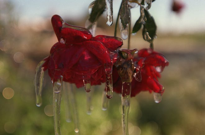 Florida landscapes are accustomed to Florida's mild winters, so a freeze can have devastating effects.