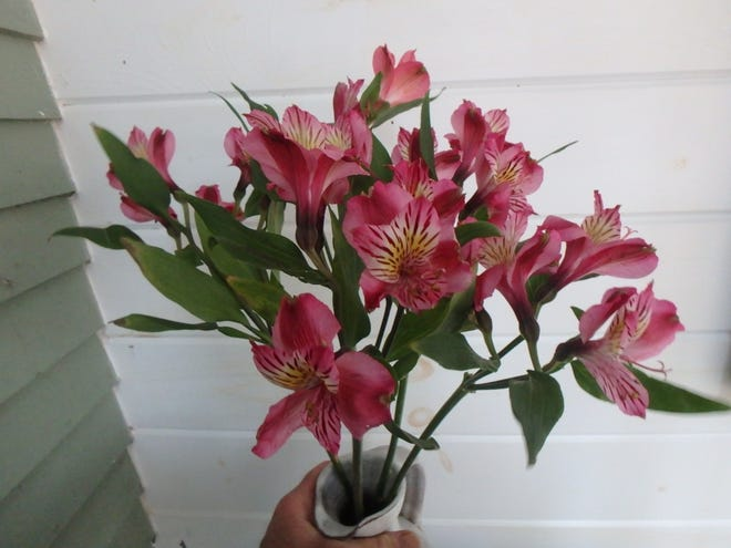 Alstromeria is a long-lasting and inexpensive cut flower.