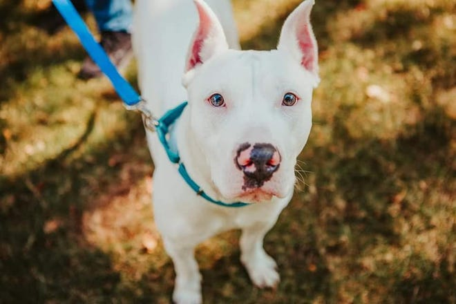 Ghost, a year-old Dogo Argentino, is available through Operation Pawsibility Project.