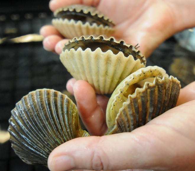 Ami Wilbur, Director of UNCWs Shellfish Research Hatchery, holds bay scallops from the New River at the hatchery in Wilmington Wednesday, October 3, 2012.