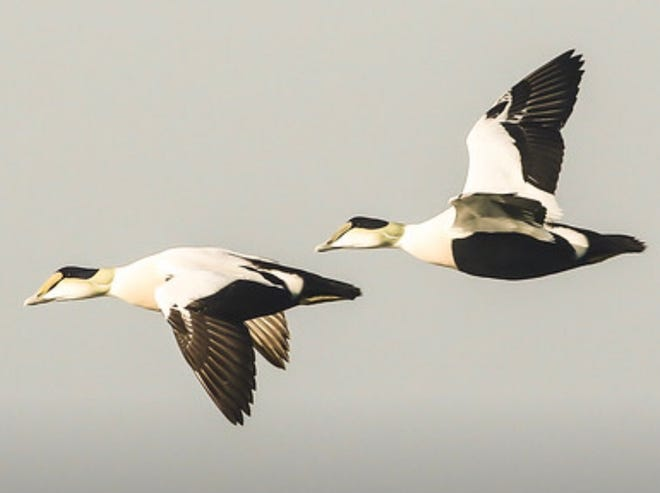 Wintering common eiders flying off the coast.