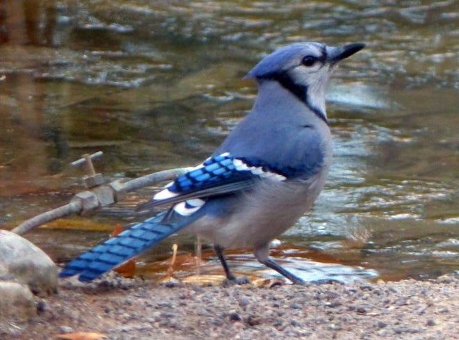 A blue jay checks out a birdbath in a Mesilla Valley yard.