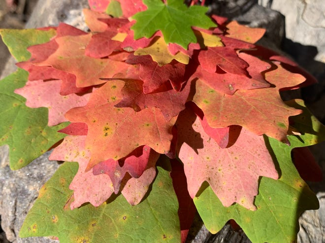 Stacked bigtooth maple leaves in the Manzano Mountains this October. While native to New Mexico, bigtooth maple trees tend to thrive in cooler temperatures and higher elevations.
