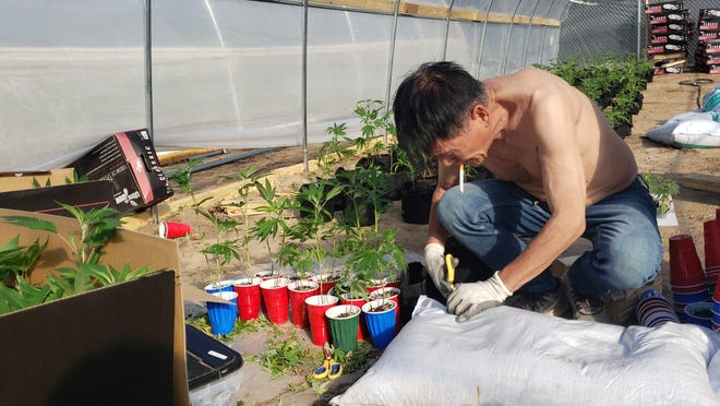 A marijuana worker is planting seedlings at a cannabis farm in Carter County, OK.