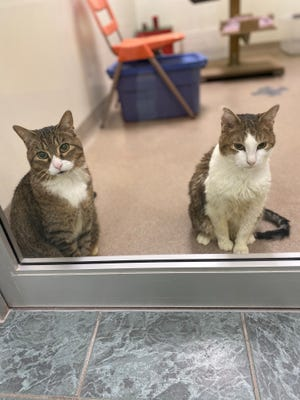 Cowboy Boots (left) andPatch Adams are two cats looking for a new forever home. They are waiting at the Oshkosh Area Humane Society to meet you.