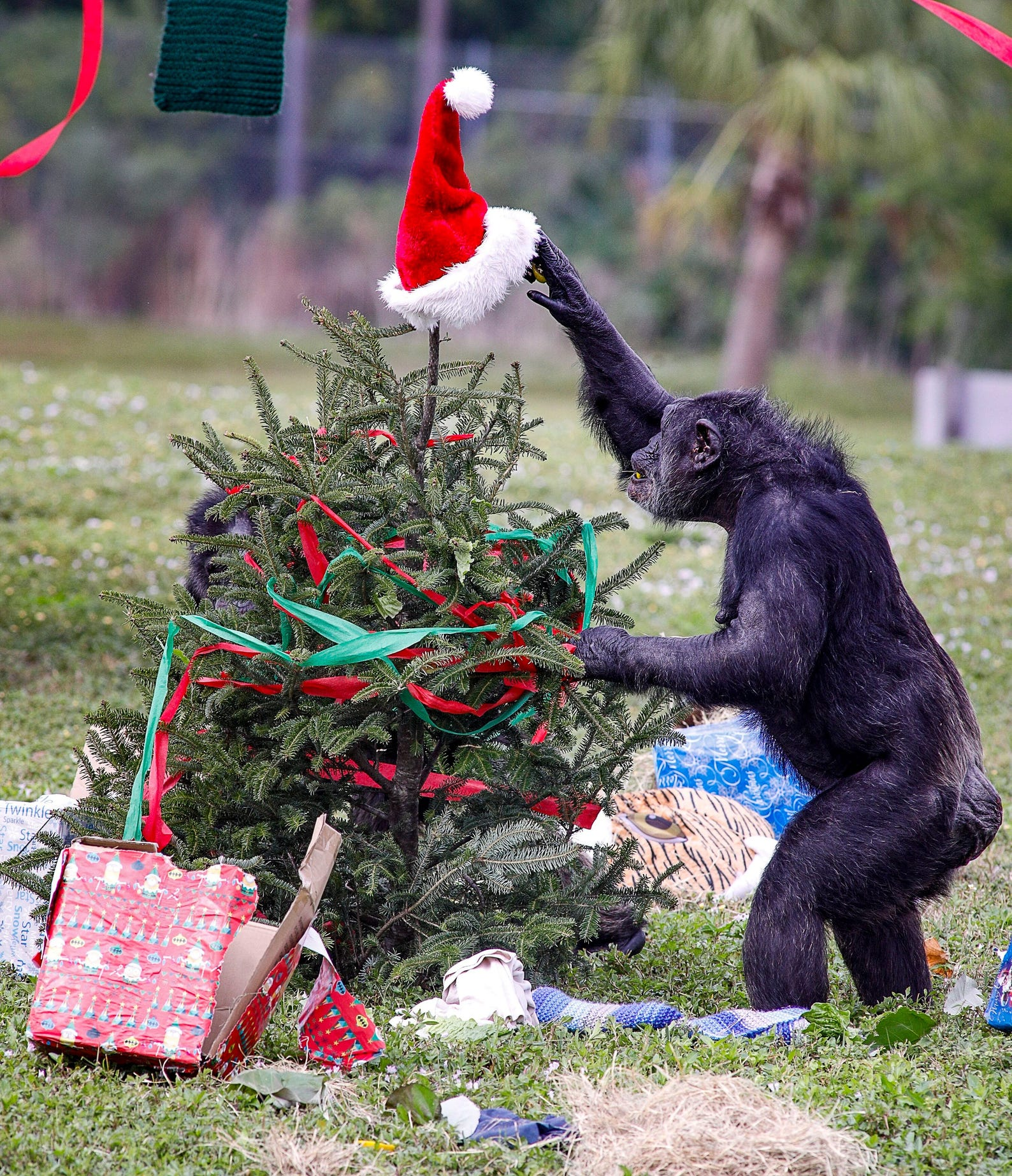 "A Chimpanzee at Lion Country Safari reaches for a Santa Claus hat on top of a Christmas tree while he and his fellow chimps open Christmas presents Thursday, Dec. 17, 2020. Park officials said that while the event is a celebration it also serves as enrichment for the chimps. ""It keeps them stimulated, moving around, and foraging, which is really important for their mental and physical well-being,"" said Haley Passeser, public relations specialist at the park."