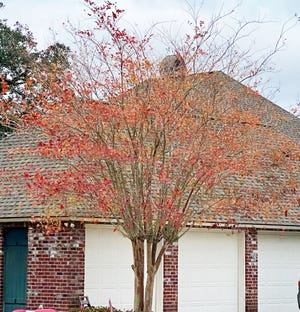 Fall colors on crape myrtles have been excellent this year.