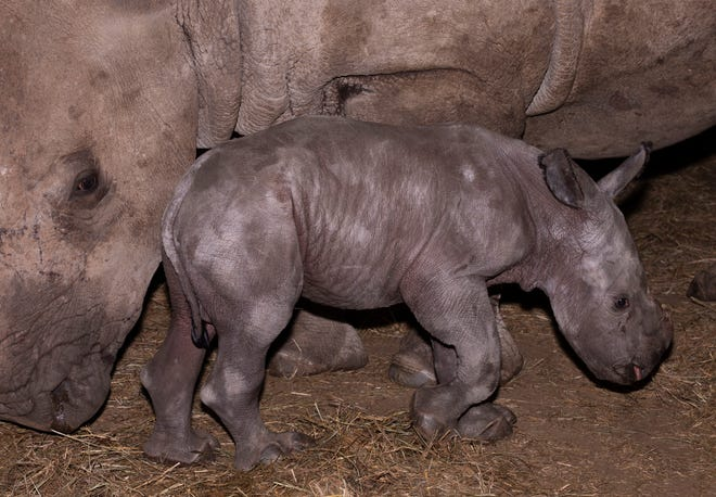A two-day-old male southern white rhinoceros, with mother, at the Wilds