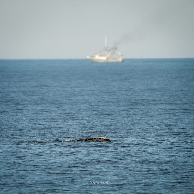 "Confirmed by the Marine Resources Council, the right whale mother nicknamed ""Chimenea"" and have been seen moving up and down the coast of Flagler County since Sunday, traveling from Palm Coast to Flagler Beach twice over."