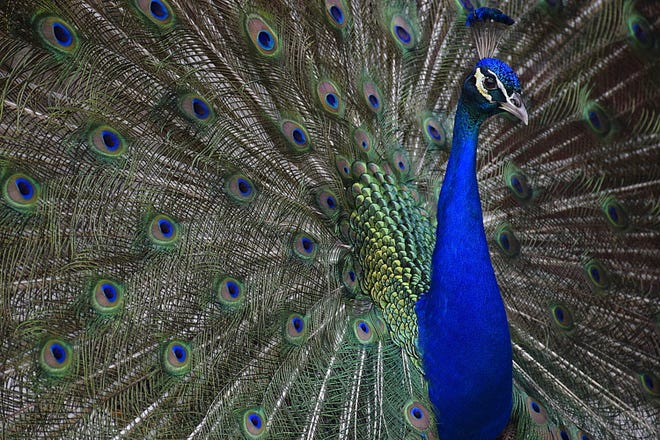 A male peacock fans his feathers as part of a courtship ritual at the Fountain of Youth Archeological Park.