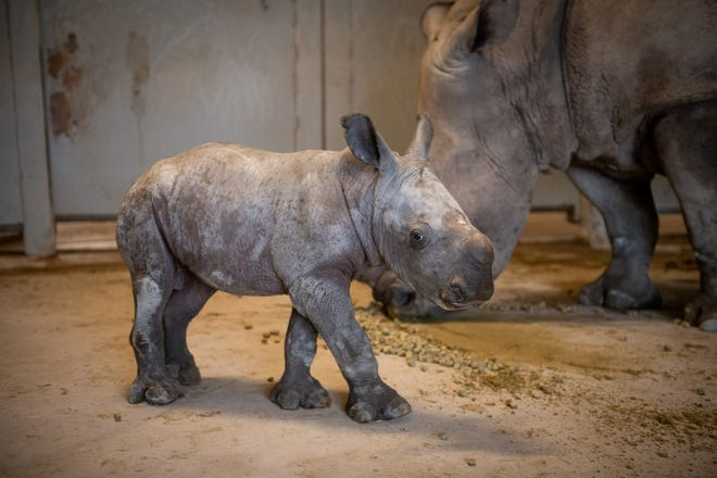 A male Southern White Rhino calf was born Dec. 18 at The Wilds, the second this month.